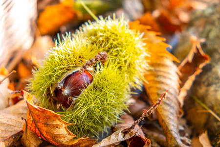 chestnuts shell close up background - harvesting chestnut in forest with autumn foliage ground