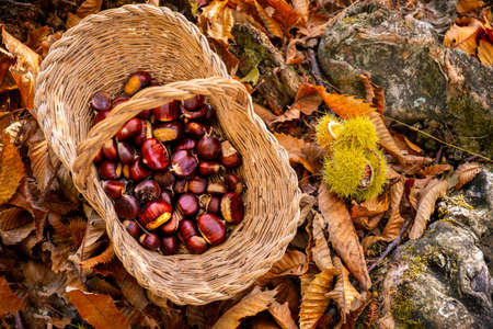 chestnuts background top view - harvesting chestnut in forest with basket in autumn foliage ground Фото со стока