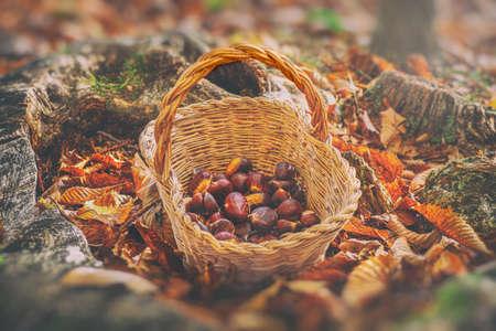 chestnuts vintage background - harvesting chestnut in forest with basket in autumn foliage blur ground