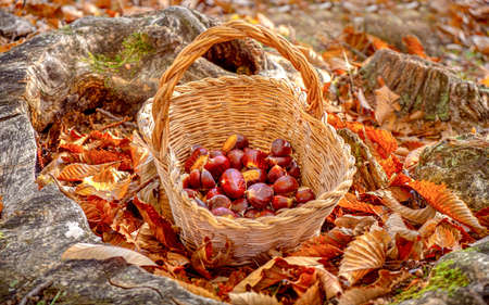 chestnuts background - harvesting chestnut in the forest with basket in autumn foliage ground