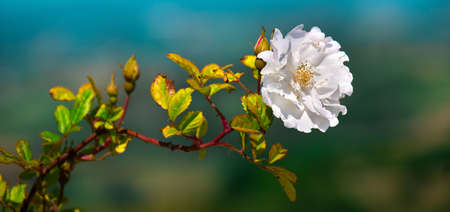 white flower horizontal background big size image rose Foto de archivo