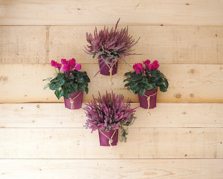 Cyclamens and lavender in pots hanging on rustic wooden wall, arranged in the shape of a rhombus. Flower decorations