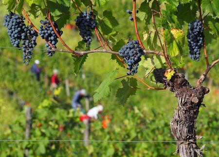 Trauben und Reben von Cabernet Franc mit Bauern, die im Hintergrund ernten