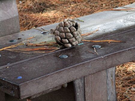 pinecone on the bench under maritime pine trees