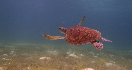 Flowing under water turtle in the Caribbean