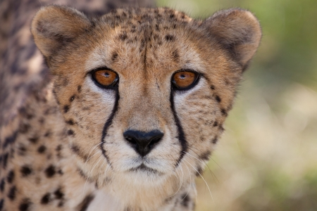 chita: Muy de cerca de guepardo. África. Namibia. Cheetah cabeza. Foto de archivo