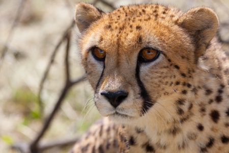 Very closeup of cheetah. Africa. Namibia. Cheetah head. Stock Photo