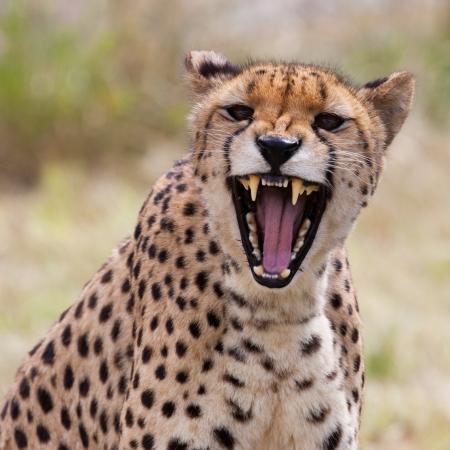 Muy de cerca de guepardo. África. Namibia. Cheetah cabeza y los dientes. Angry guepardo.