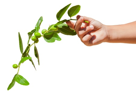 Childs hand holding an olive branch
