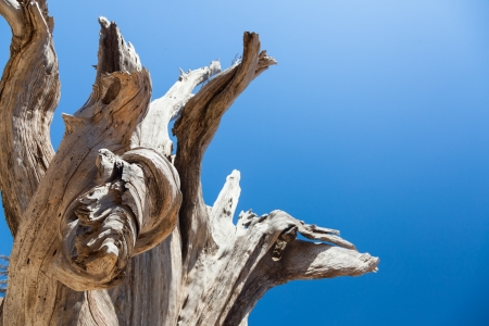 Part of very old brown tree at the blue sku background without clouds