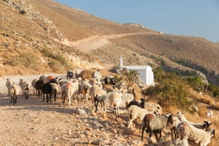 Rocky road to Balos Beach in Crete  Greece  Flock of sheep blocking road early in the morning