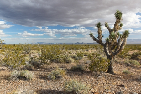 mohave: Lonely Joshua tree at the cloudy sky background