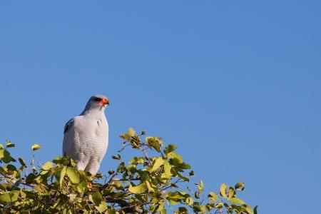 melierax: Bird of prey. Pale Chanting Goshawk. Melierax canorus. Africa, Namibia.