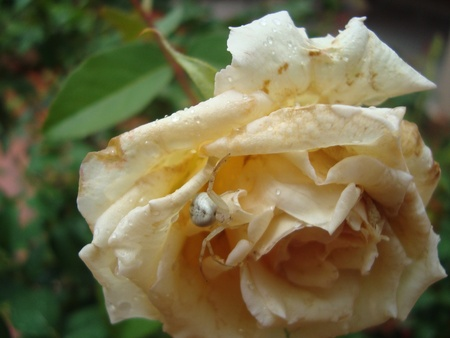 arachnids: spider in a white rose