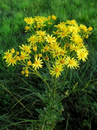 vulgaris: Jacobaea vulgaris
