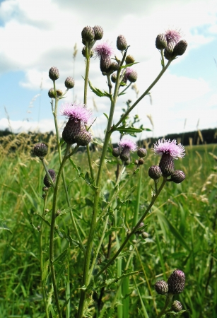 Cirsium arvense - wild plant and weed   photo