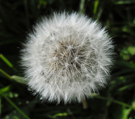 Dandelion blowball against a dark natural background   photo
