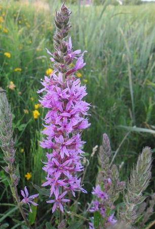 myrtales: Purple loosestrife - flower