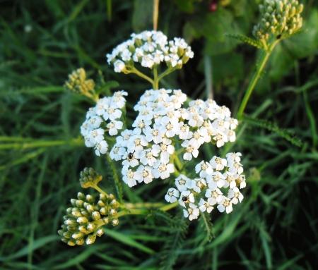 millefolium: Achillea millefolium