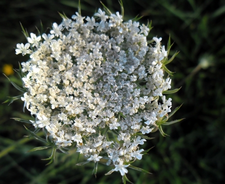 queen anne   s lace: Wild carrot - flower   Stock Photo