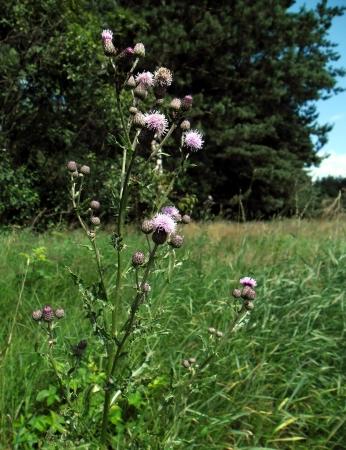 Cirsium arvense - wild plant   Stock Photo