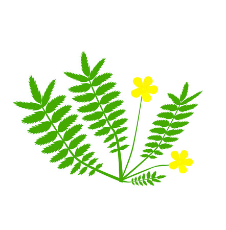 herbalist: Plant with yellow flower Illustration