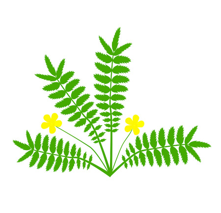 herbalist: Plant with yellow flower (Argentina anserina)