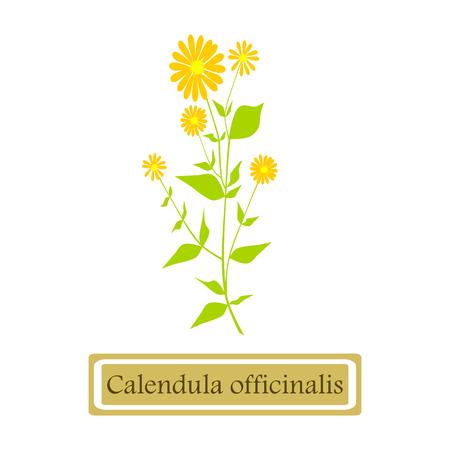 calendula: Medicinal plant Calendula officinalis (common marigold)