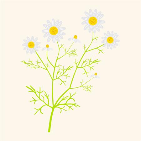 matricaria: Matricaria chamomilla