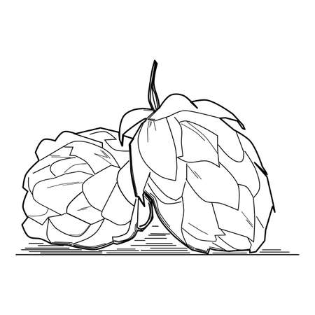 Hop plant, sketch style vector illustration isolated on white background. Realistic ripe green hop cones