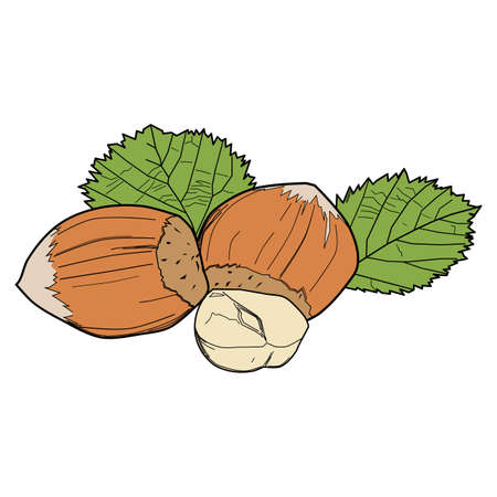 Hazelnuts with leaves. Nuts food Illustrations. Plant Illustrations, botany Illustrations.