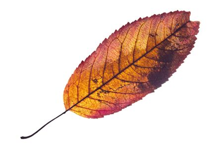 Backlit colorful leaf with white background