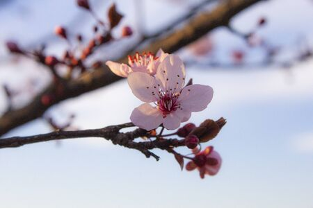 Cherry blossom blossoming during spring 2