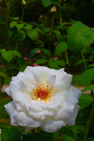 Voluptuous white rose on a background of green leaves. Massive flower illuminated by the sun in spring.