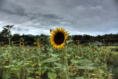 Sunflower Stock Photo - 17278161