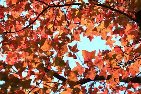 Maple Leaf Stock Photo - 17354294