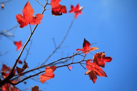 Maple Leaf Stock Photo - 17354295