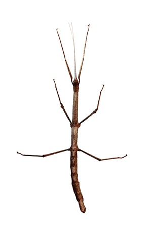 Walking stick (Phasmatodea) top view isolated on white background