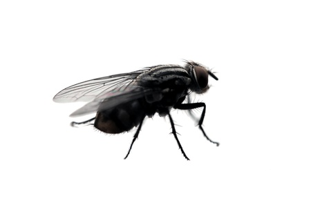 A fly isolated on white background
