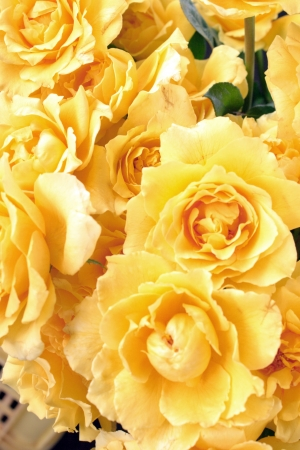clr: Flower theme: Yellow roses Stock Photo