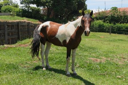 ruminate: A farm theme: Horse in a farm Stock Photo