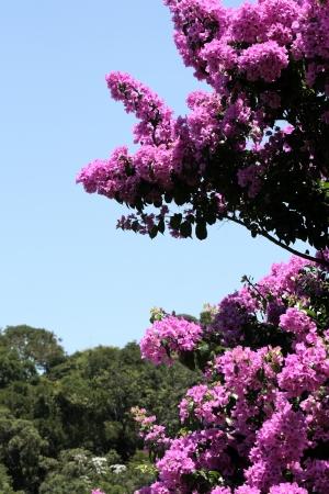 clr: Flower theme: Glory Purple Tree Stock Photo