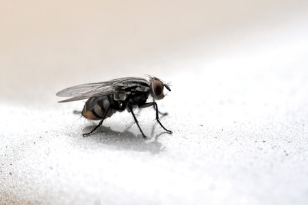 transmissible: An insect theme: Fly macro Stock Photo