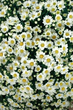 clr: Flower theme  The chrysanthemum background Stock Photo