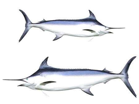 Photo of Swordfish photo