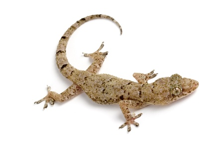 Photo of Common house gecko