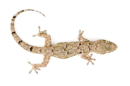 Photo of Gecko top view photo