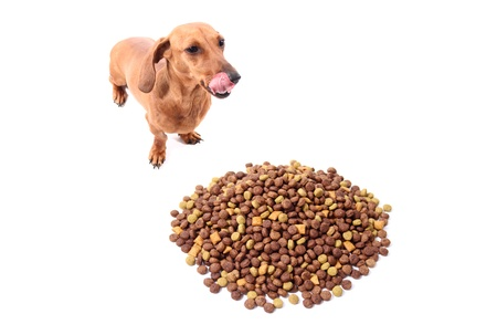 comida perro: Dachshund sacar la lengua sobre fondo blanco esperando para comer su alimento de perro delicioso.