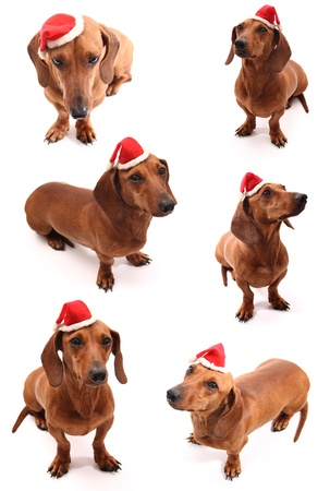 A group of sausage dogs wearing a santas hat. photo