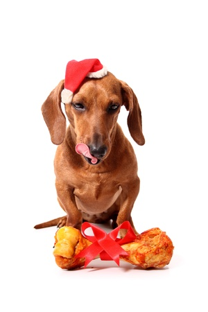 An isolated dachshund dog wearing a santa's hat with a delicious bone on a white background. photo
